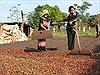 Người Mạ ở Đắk Nông làm giàu nhờ trồng cà phê