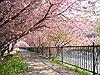 Hoa anh đào và triết lý sống của người Nhật Bản