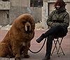 Chó Tây Tạng, thú chơi của nhà giàu Trung Quốc