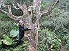 Những cây chè cổ Suối Giàng