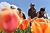 Ngây ngất ngắm cánh đồng hoa Tulip ở Tây Tạng