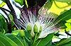 Bàng vuông Trường Sa, nở hoa hồn Tổ quốc