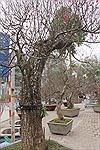 Ngắm những gốc đào 'khủng' Nhật Tân