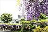 Nhật Bản rực rỡ trong mùa hoa Tử đằng