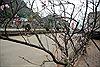 Đào rừng tấp nập xuống phố