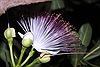 Hoa bàng vuông Trường Sa khoe sắc
