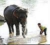 Đắk Lắk: Cứu voi rừng mắc bẫy