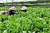 Hiệu quả từ nền nông nghiệp đô thị