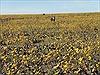 """Mỹ: """"Thung lũng chết"""" bất ngờ ngập tràn hoa nở"""