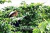 Tái canh cây cà phê ở Tây Nguyên chậm