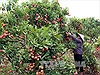 Phát triển bền vững vùng cây ăn quả có múi