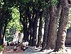 Ngắm hàng xà cừ trên đường Tôn Đức Thắng trước khi đốn hạ để xây cầu Thủ Thiêm 2