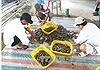 Giá tôm nguyên liệu tại Bạc Liêu tăng