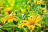 Chiêm ngưỡng vẻ đẹp hoa dã quỳ ở Điện Biên