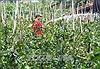 Phú Yên sôi động mùa mai Tết