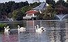 Rời Hồ Gươm, đàn thiên nga 12 con vươn cánh ở hồ Thiền Quang