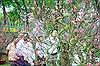 Hoa đào đất Bắc khoe sắc 'hút' khách chơi Tết TP Hồ Chí Minh