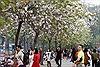 Mê mệt sắc tím hoa ban giữa trời Xuân Hà Nội