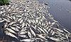 Cá chết liên tục tại huyện Đầm Dơi, vì sao chưa thu được mẫu vật để tìm nguyên nhân?