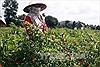Chuyển đổi đất lúa kém hiệu quả sang trồng cây có giá trị cao