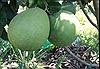 Bưởi da xanh - trái cây ngon ngày Tết