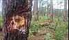 Lâm Đồng: Hai thanh niên ra tay đầu độc rừng thông 3 lá bằng hoá chất