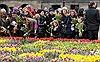 Mùa tulip rực rỡ ở Hà Lan giữa đại dịch COVID-19