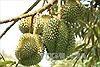 60 cây sầu riêng của người dân nghi bị đầu độc bằng thuốc cỏ cháy