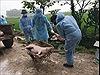 Hưng Yên hỗ trợ người chăn nuôi có lợn bị tiêu hủy do dịch tả châu Phi