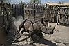 'Ngõ cụt' hồi sinh tê giác tại CH Chad