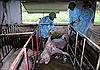 Hà Tĩnh phát hiện ổ dịch tả lợn châu Phi đầu tiên