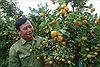 Niềm vui vụ Tết của người trồng quất cảnh ở Thanh Hà