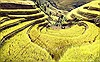 Ngắm mùa vàng trên ruộng bậc thang Mù Cang Chải