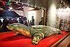 Hà Nội: Trưng bày mẫu vật Rùa Hồ Gươm tại di tích đền Ngọc Sơn