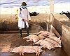Quảng Nam khoanh vùng xử lý ổ dịch tả lợn châu Phi