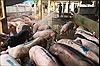 Thừa Thiên - Huế hỗ trợ chủ chăn nuôi có lợn bị tiêu hủy do dịch tả lợn châu Phi