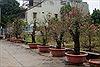 Thắm sắc hoa làng đào La Cả khi Tết đến xuân về