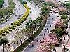 Kèn hồng nở rực cả một góc trời TP Hồ Chí Minh