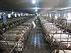 TP Hồ Chí Minh kiểm soát chặt để phòng chống dịch tả lợn châu Phi