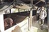 Long An khẩn cấp phòng chống dịch tả lợn châu Phi giáp ranh vùng biên giới