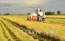 Tìm đầu ra cho lúa gạo vùng Đồng Tháp Mười - Bài 1: Hình thành những vùng liên kết sản xuất lúa lớn