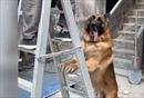Bất ngờ với chú chó béc-giê giúp việc nhà 'như người'