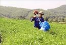Lão nông với chiếc máy 'hút sâu', diệt trừ côn trùng hại cây chè đất Tuyên
