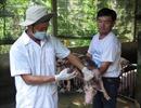 Dịch tả lợn châu Phi không có khả năng lây sang người