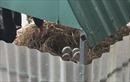 Đàn thiên nga ở hồ Thiền Quang (Hà Nội) đẻ gần 20 trứng