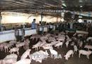 Người chăn nuôi đề xuất giải pháp phòng, chống dịch tả lợn châu Phi