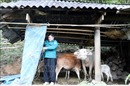Phòng chống rét cho đàn gia súc