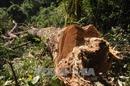 Bắt Trưởng phòng Nông nghiệp để điều tra vụ phá rừng