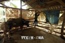 Chống rét cho đàn gia súc ở Hà Giang