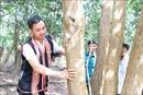Người Bahnar bảo vệ cây trắc quý hiếm trong vườn rẫy